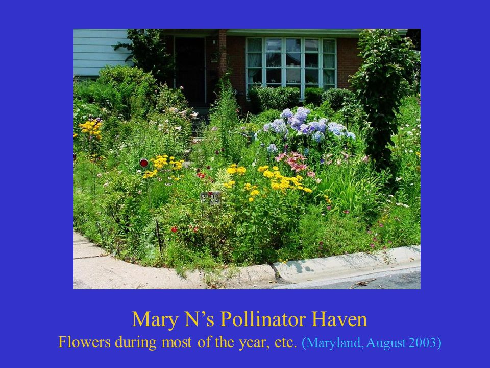Mary N's Pollinator Haven Flowers during most of the year, etc. (Maryland, August 2003)