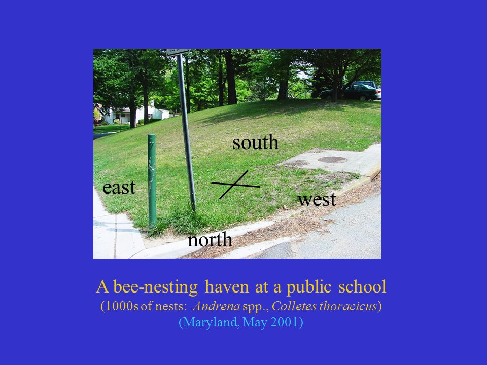 A bee-nesting haven at a public school (1000s of nests: Andrena spp., Colletes thoracicus) (Maryland, May 2001) south north east west