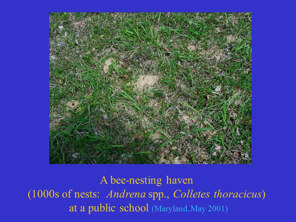 A bee-nesting haven (1000s of nests: Andrena spp., Colletes thoracicus) at a public school (Maryland, May 2001)