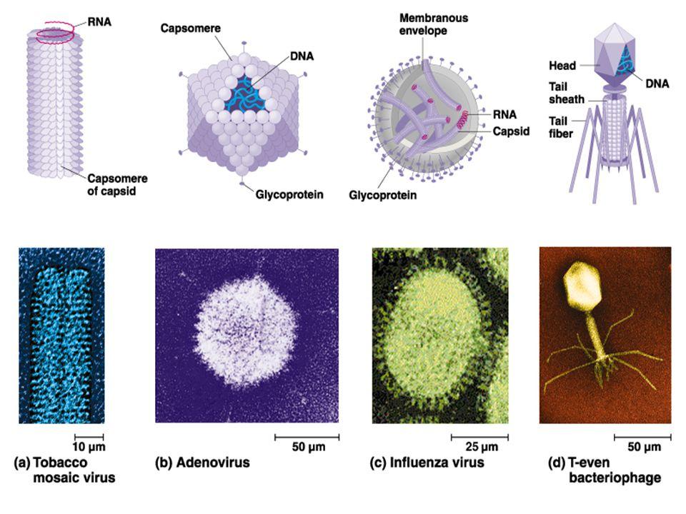 Some viruses cause