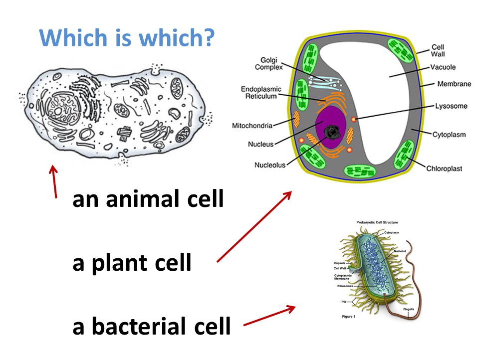 Which is which? an animal cell a plant cell a bacterial cell