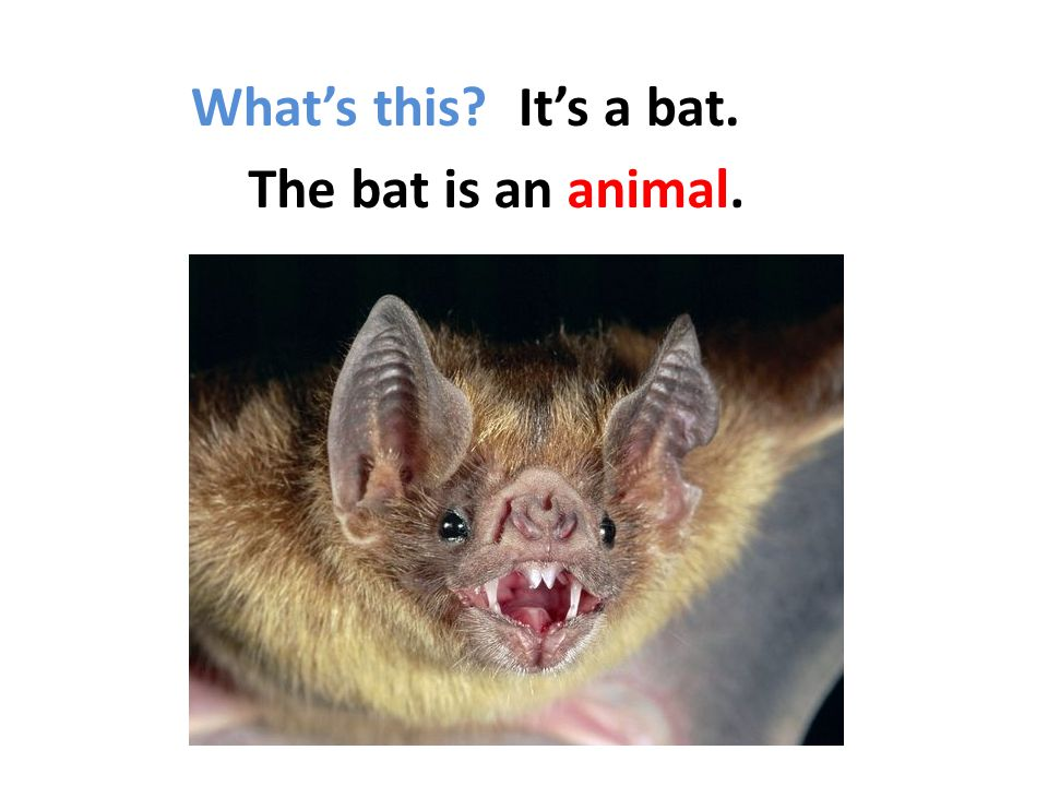 What's this It's a bat. The bat is an animal.