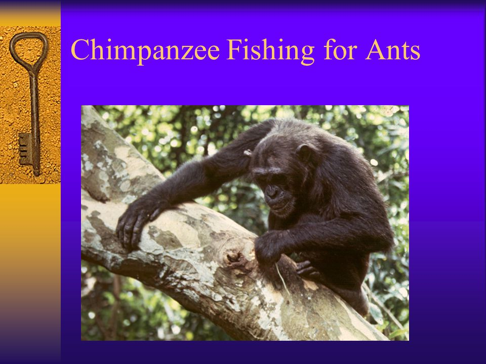 Chimpanzee Fishing for Ants