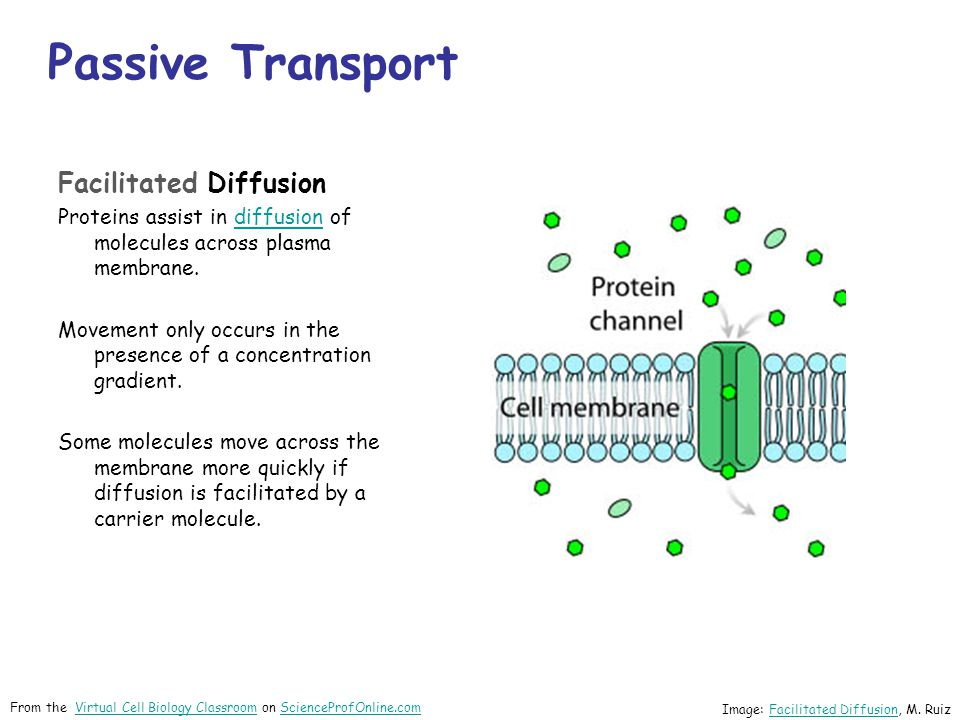 Passive Transport Facilitated Diffusion Proteins assist in diffusion of molecules across plasma membrane.diffusion Movement only occurs in the presence of a concentration gradient.