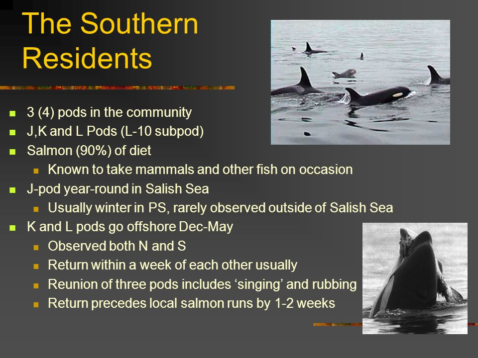The Southern Residents 3 (4) pods in the community J,K and L Pods (L-10 subpod) Salmon (90%) of diet Known to take mammals and other fish on occasion J-pod year-round in Salish Sea Usually winter in PS, rarely observed outside of Salish Sea K and L pods go offshore Dec-May Observed both N and S Return within a week of each other usually Reunion of three pods includes 'singing' and rubbing Return precedes local salmon runs by 1-2 weeks