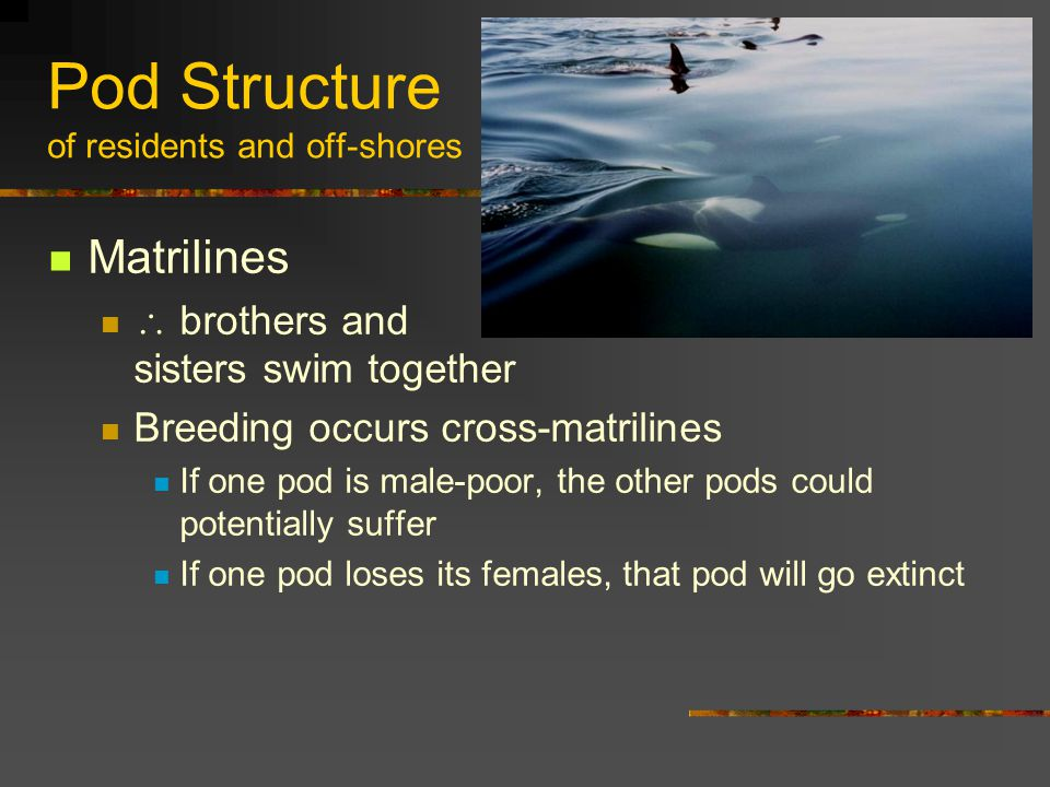 Pod Structure of residents and off-shores Matrilines  brothers and sisters swim together Breeding occurs cross-matrilines If one pod is male-poor, the other pods could potentially suffer If one pod loses its females, that pod will go extinct