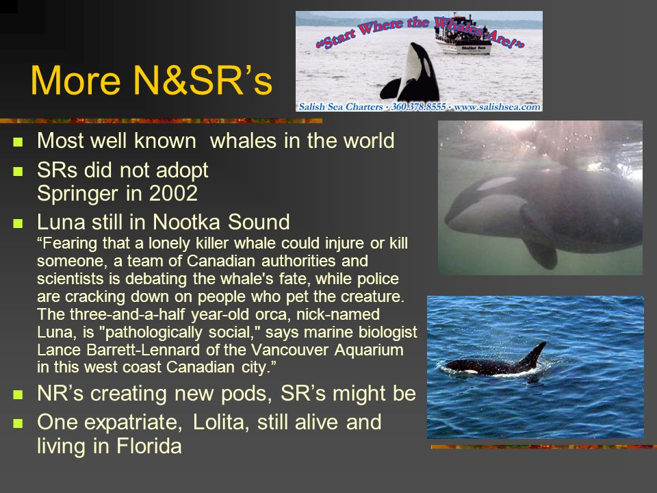 More N&SR's Most well known whales in the world SRs did not adopt Springer in 2002 Luna still in Nootka Sound Fearing that a lonely killer whale could injure or kill someone, a team of Canadian authorities and scientists is debating the whale s fate, while police are cracking down on people who pet the creature.