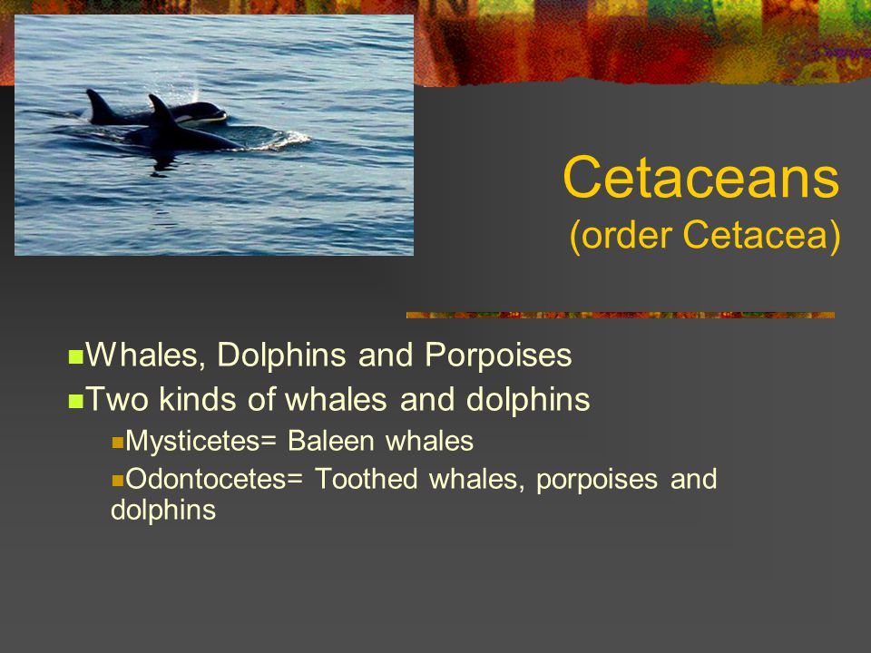 Cetaceans (order Cetacea) Whales, Dolphins and Porpoises Two kinds of whales and dolphins Mysticetes= Baleen whales Odontocetes= Toothed whales, porpoises and dolphins