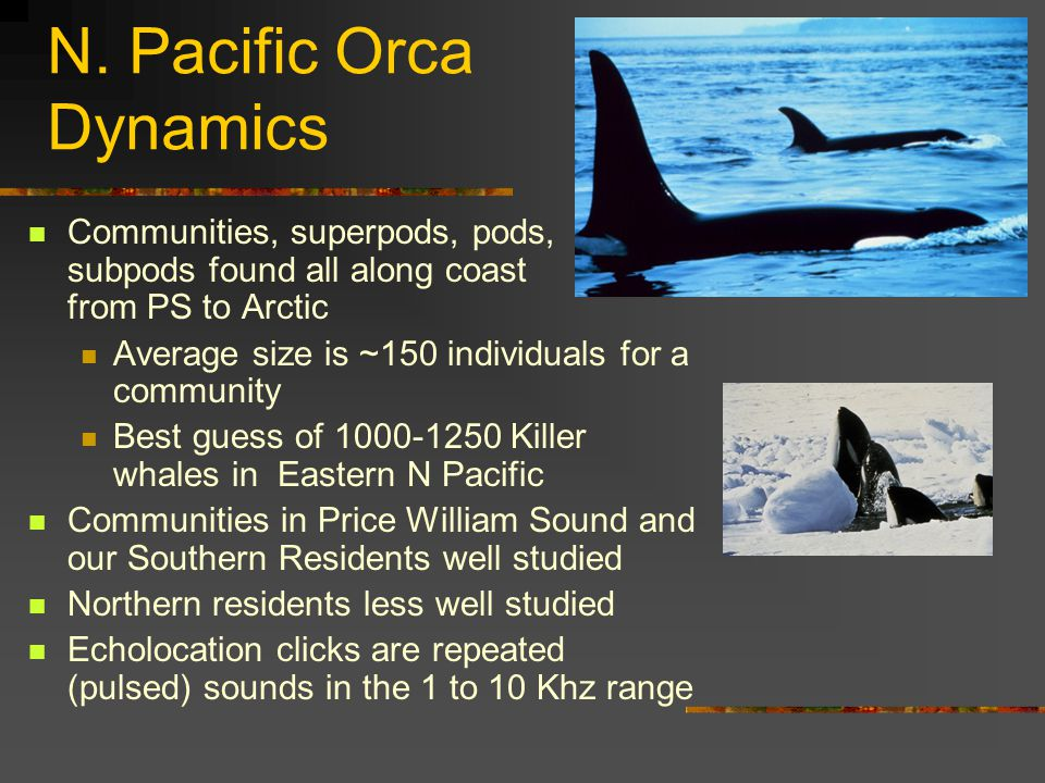 Salish Sea Orca History No wide-spread hunting by native Americans Tribal stories for orca creation propose them to be human (in many instances) 'hunted' by military along with seals and sea lions in PS, 1945-1967 Aquarium trade capture 1965-1972