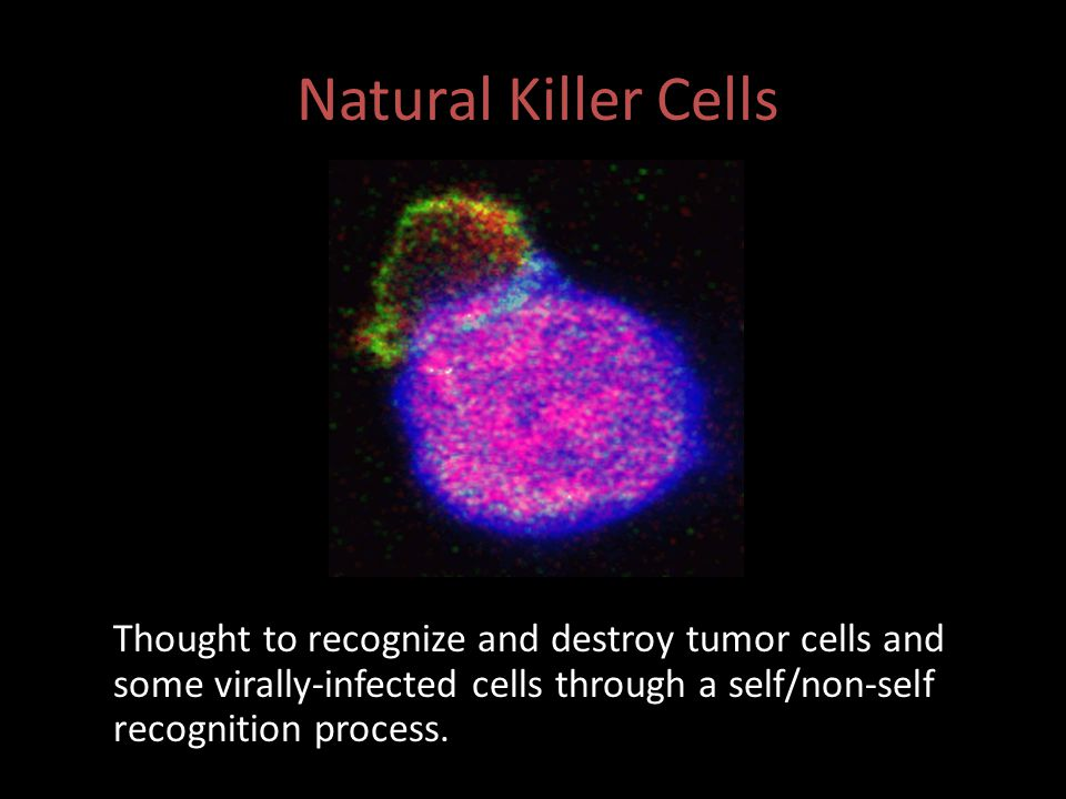 Natural Killer Cells Thought to recognize and destroy tumor cells and some virally-infected cells through a self/non-self recognition process.