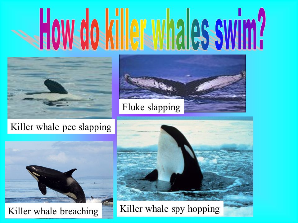 Killer whale breaching Killer whale spy hopping Killer whale pec slapping Fluke slapping
