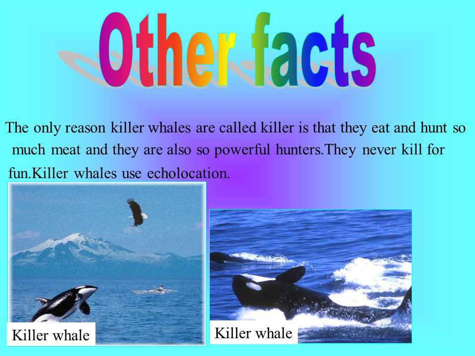 Though killer whales, also called orcas, they are considered whales by most people, they are actually members of the dolphin family.