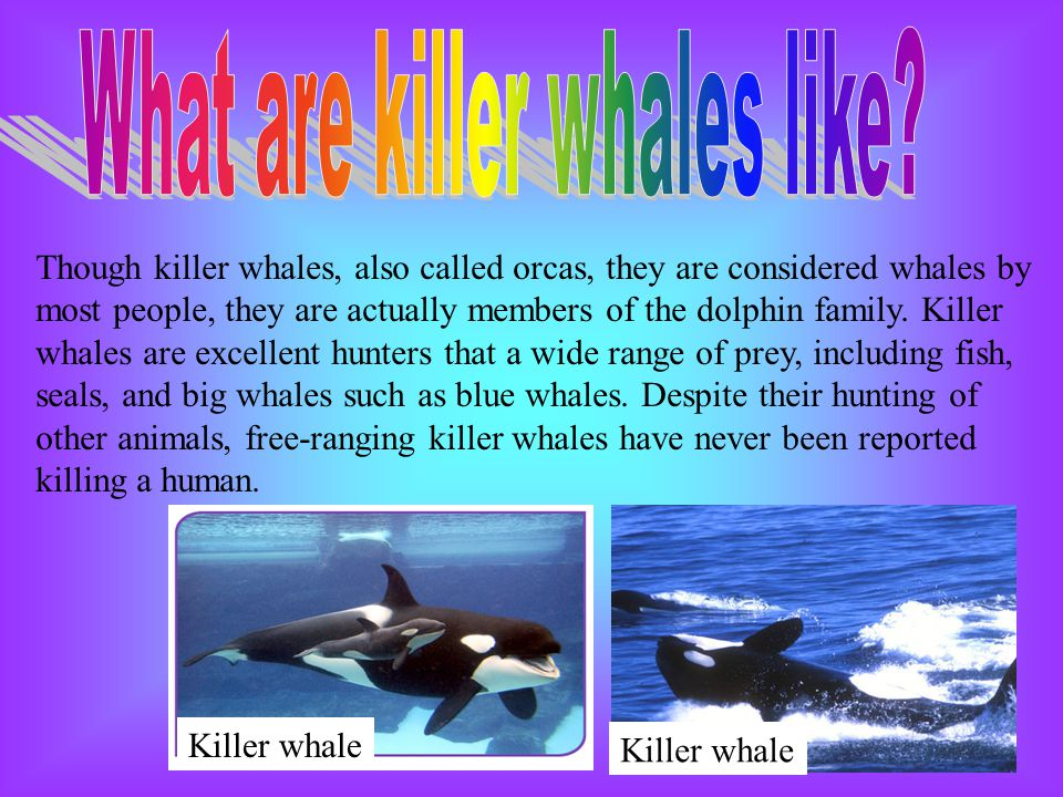 Though killer whales, also called orcas, they are considered whales by most people, they are actually members of the dolphin family. Killer whales are
