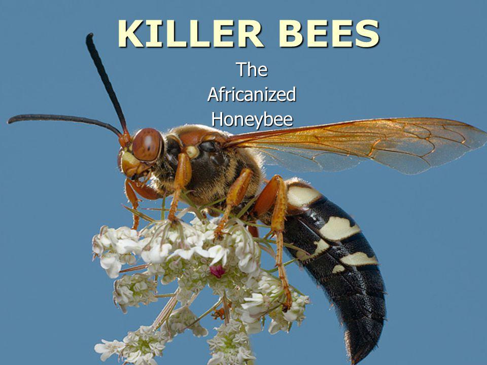 KILLER BEES TheAfricanizedHoneybee