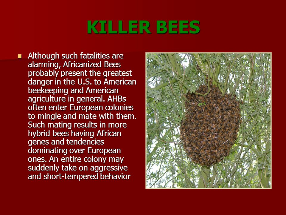 KILLER BEES Although such fatalities are alarming, Africanized Bees probably present the greatest danger in the U.S.