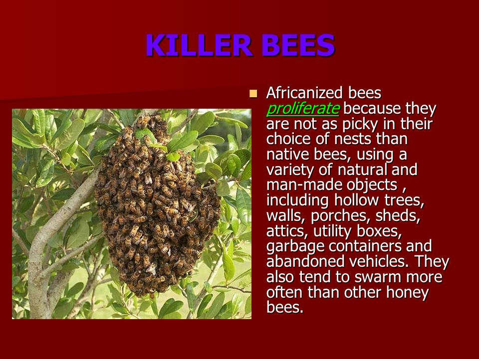 KILLER BEES Africanized bees proliferate because they are not as picky in their choice of nests than native bees, using a variety of natural and man-made objects, including hollow trees, walls, porches, sheds, attics, utility boxes, garbage containers and abandoned vehicles.