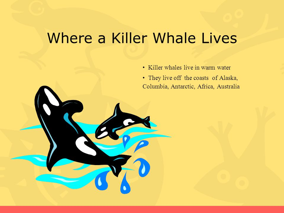 Where a Killer Whale Lives Killer whales live in warm water They live off the coasts of Alaska, Columbia, Antarctic, Africa, Australia