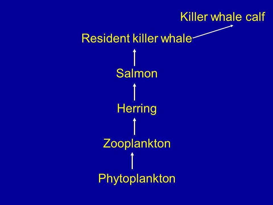 Resident killer whale Salmon Herring Zooplankton Phytoplankton Killer whale calf