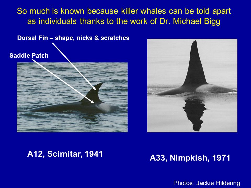 So much is known because killer whales can be told apart as individuals thanks to the work of Dr. Michael Bigg A12, Scimitar, 1941 A33, Nimpkish, 1971