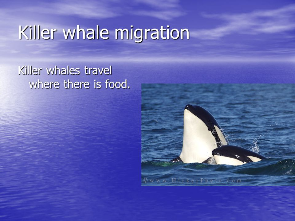 Killer whale migration Killer whales travel where there is food.