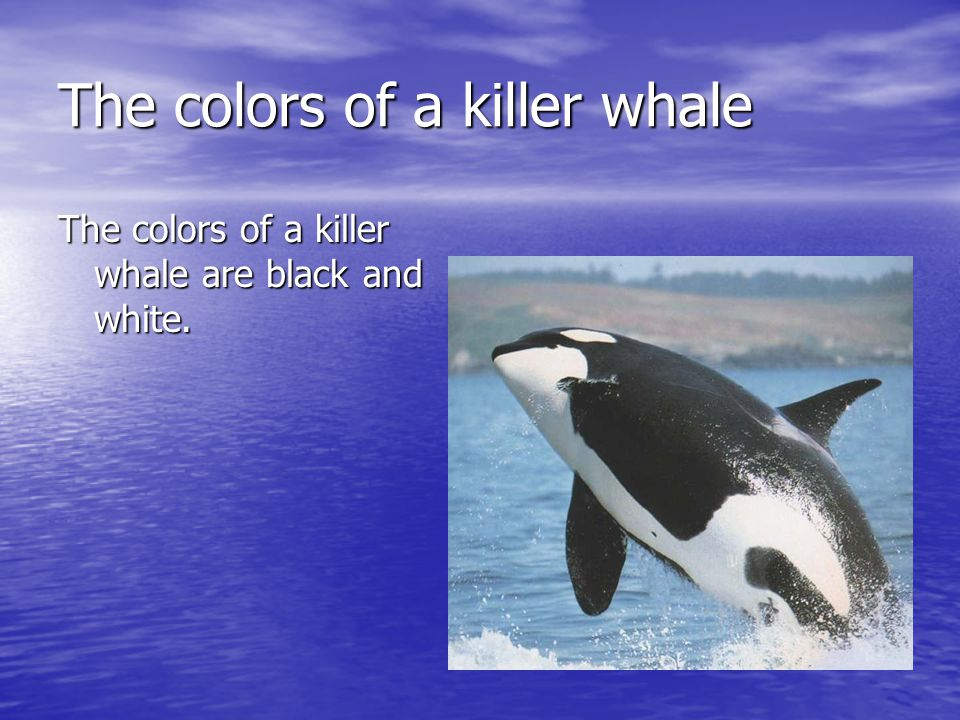 The colors of a killer whale The colors of a killer whale are black and white.