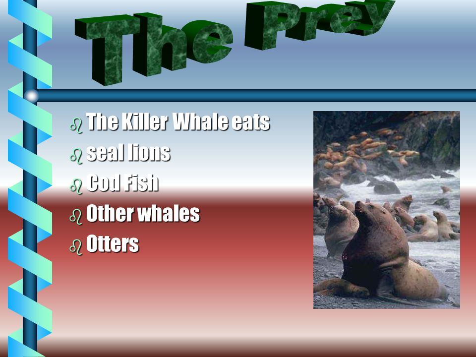 b The Killer Whale eats b seal lions b Cod Fish b Other whales b Otters
