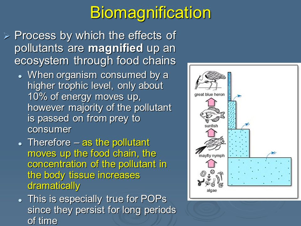 Biomagnification  Process by which the effects of pollutants are magnified up an ecosystem through food chains When organism consumed by a higher trophic level, only about 10% of energy moves up, however majority of the pollutant is passed on from prey to consumer When organism consumed by a higher trophic level, only about 10% of energy moves up, however majority of the pollutant is passed on from prey to consumer Therefore – as the pollutant moves up the food chain, the concentration of the pollutant in the body tissue increases dramatically Therefore – as the pollutant moves up the food chain, the concentration of the pollutant in the body tissue increases dramatically This is especially true for POPs since they persist for long periods of time This is especially true for POPs since they persist for long periods of time
