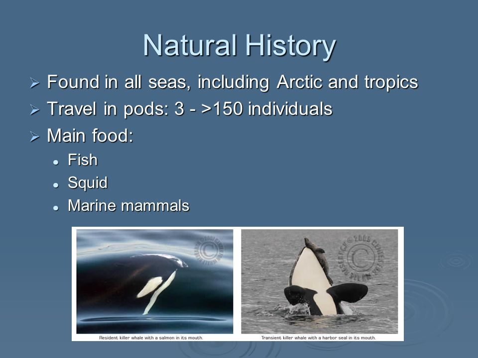 Natural History  Found in all seas, including Arctic and tropics  Travel in pods: 3 - >150 individuals  Main food: Fish Fish Squid Squid Marine mammals Marine mammals