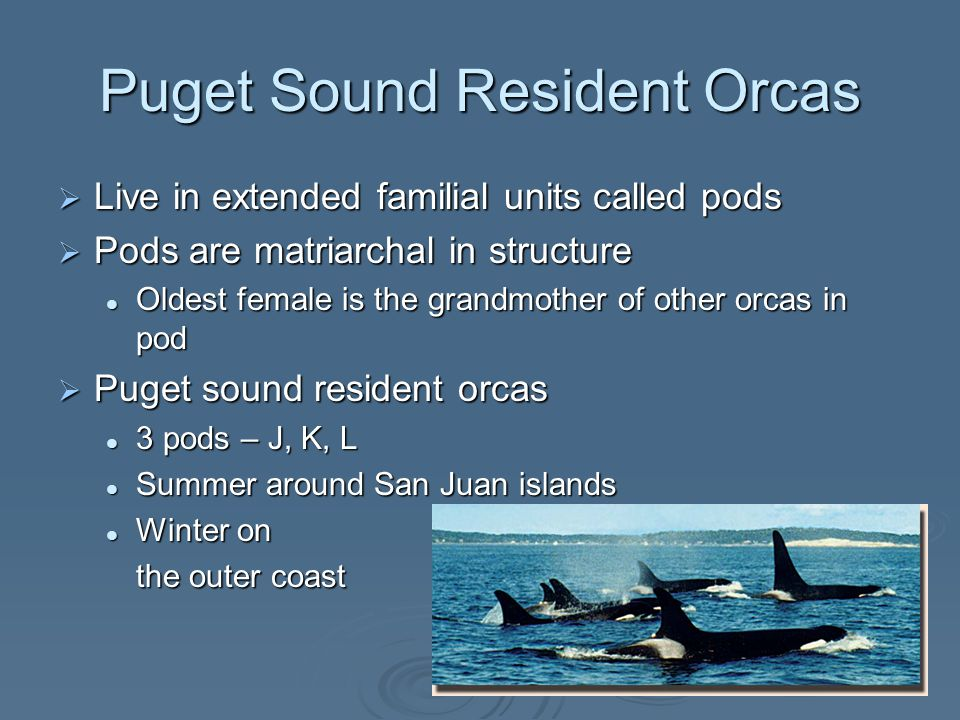 Puget Sound Resident Orcas  Live in extended familial units called pods  Pods are matriarchal in structure Oldest female is the grandmother of other orcas in pod Oldest female is the grandmother of other orcas in pod  Puget sound resident orcas 3 pods – J, K, L 3 pods – J, K, L Summer around San Juan islands Summer around San Juan islands Winter on Winter on the outer coast