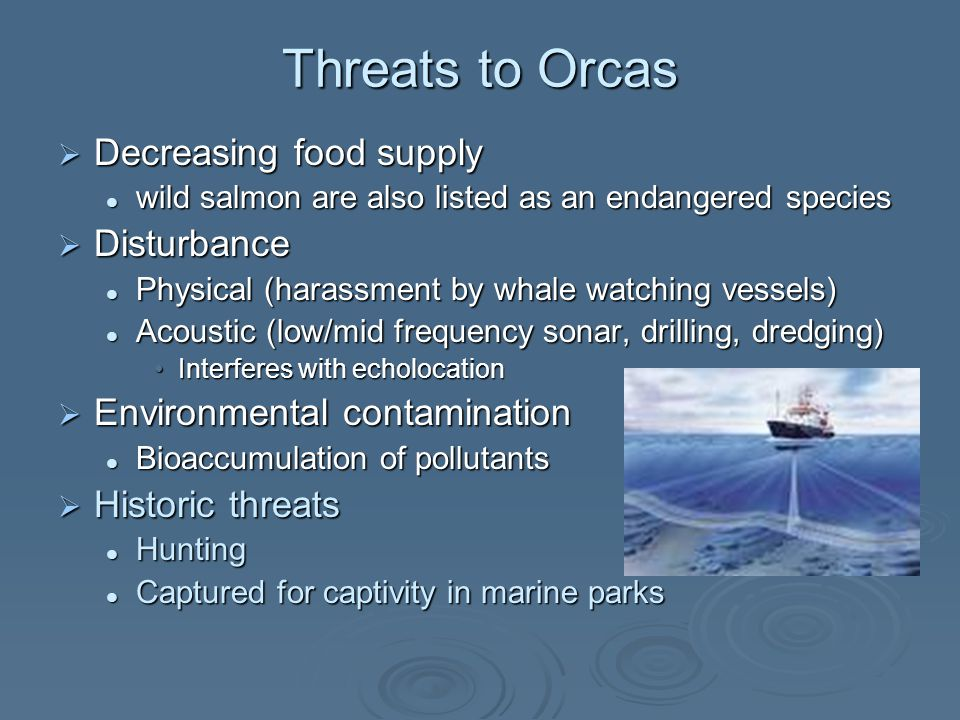 Threats to Orcas  Decreasing food supply wild salmon are also listed as an endangered species wild salmon are also listed as an endangered species  Disturbance Physical (harassment by whale watching vessels) Physical (harassment by whale watching vessels) Acoustic (low/mid frequency sonar, drilling, dredging) Acoustic (low/mid frequency sonar, drilling, dredging) Interferes with echolocationInterferes with echolocation  Environmental contamination Bioaccumulation of pollutants Bioaccumulation of pollutants  Historic threats Hunting Hunting Captured for captivity in marine parks Captured for captivity in marine parks
