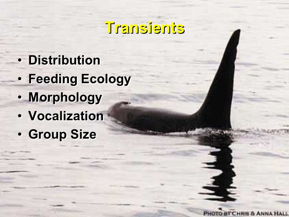Transients Distribution Feeding Ecology Morphology Vocalization Group Size Distribution Feeding Ecology Morphology Vocalization Group Size