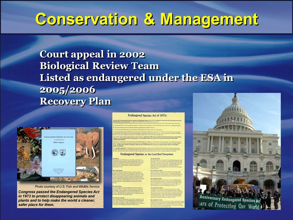 Court appeal in 2002 Biological Review Team Listed as endangered under the ESA in 2005/2006 Recovery Plan Court appeal in 2002 Biological Review Team Listed as endangered under the ESA in 2005/2006 Recovery Plan Conservation & Management