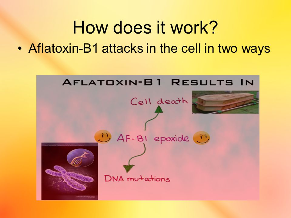 How does it work Aflatoxin-B1 attacks in the cell in two ways