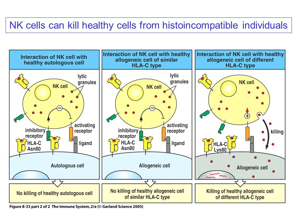 NK cells can kill healthy cells from histoincompatible individuals