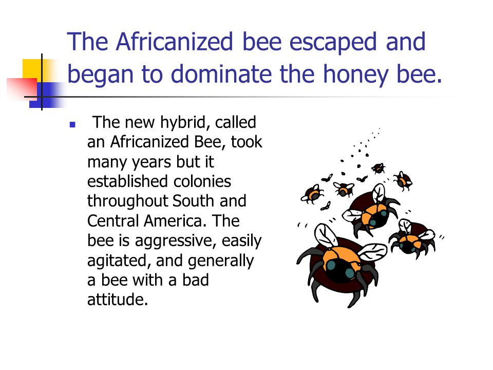 The Africanized bee escaped and began to dominate the honey bee.