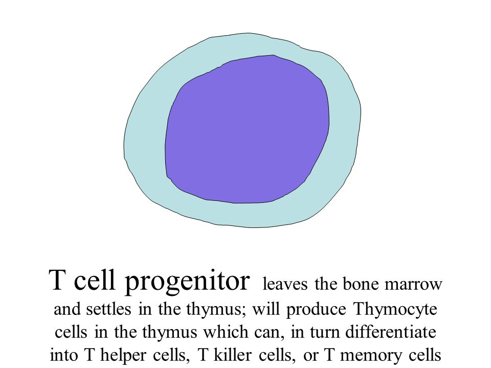 T cell progenitor leaves the bone marrow and settles in the thymus; will produce Thymocyte cells in the thymus which can, in turn differentiate into T helper cells, T killer cells, or T memory cells