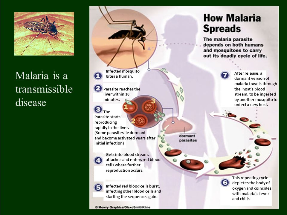 After release, a dormant version of malaria travels through the host's blood stream, to be ingested by another mosquito to onfect a new host.