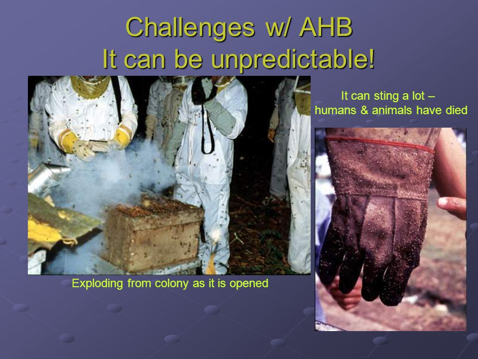 Challenges w/ AHB It can be unpredictable! It can sting a lot – humans & animals have died Exploding from colony as it is opened