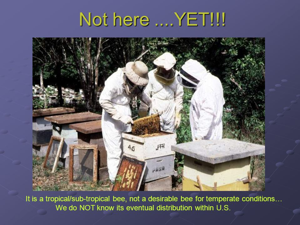 Not here....YET!!! It is a tropical/sub-tropical bee, not a desirable bee for temperate conditions… We do NOT know its eventual distribution within U.