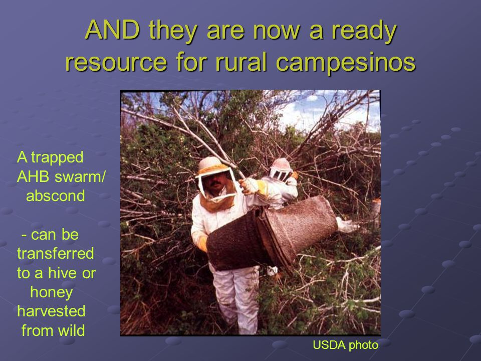 AND they are now a ready resource for rural campesinos USDA photo A trapped AHB swarm/ abscond - can be transferred to a hive or honey harvested from