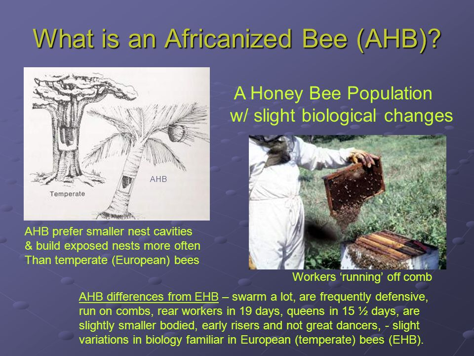 What is an Africanized Bee (AHB)? A Honey Bee Population w/ slight biological changes AHB differences from EHB – swarm a lot, are frequently defensive