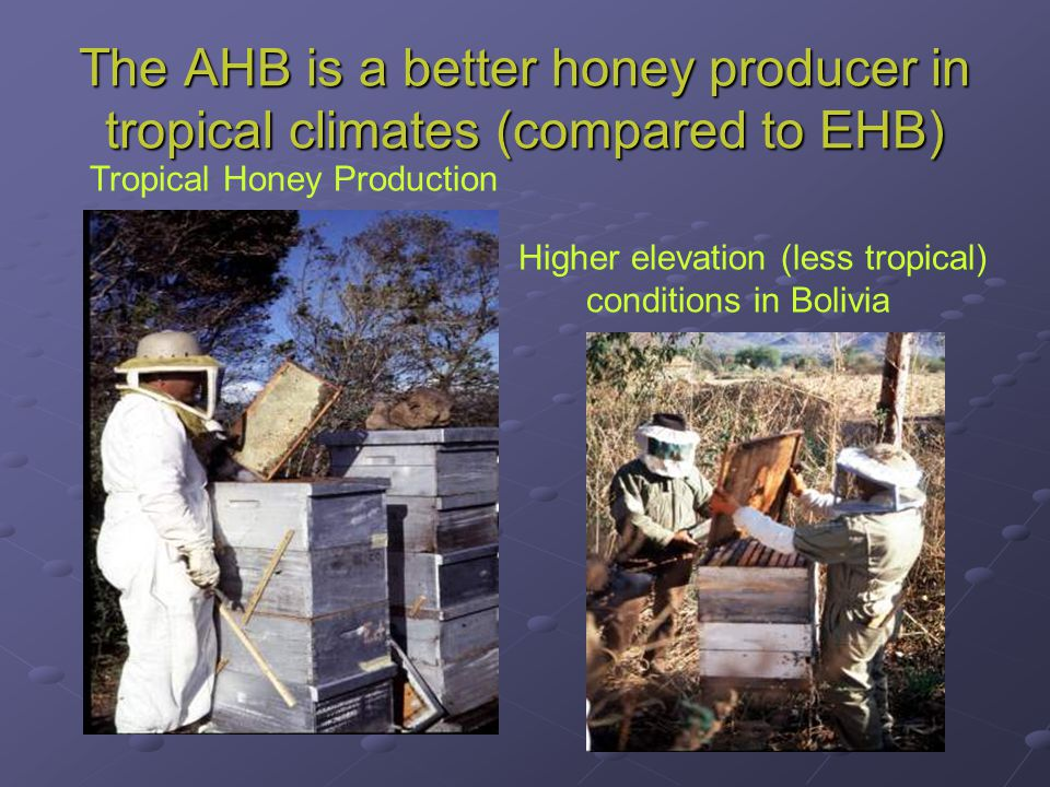 The AHB is a better honey producer in tropical climates (compared to EHB) Tropical Honey Production Higher elevation (less tropical) conditions in Bol