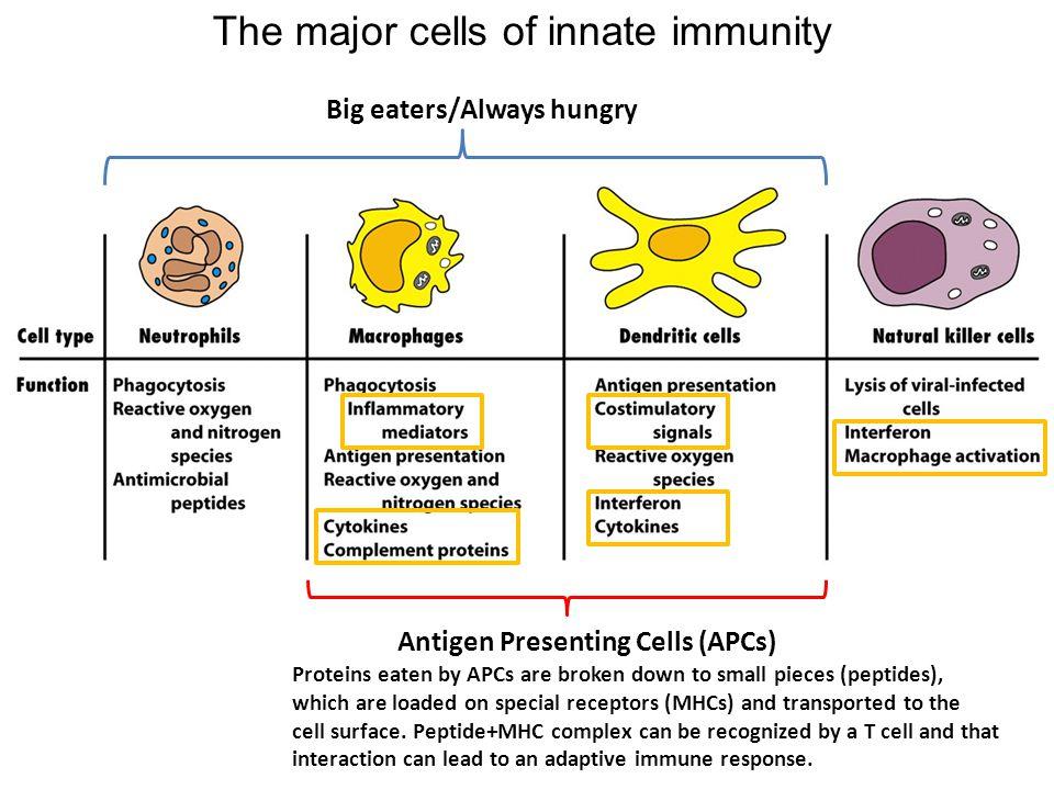 Adaptive immune response