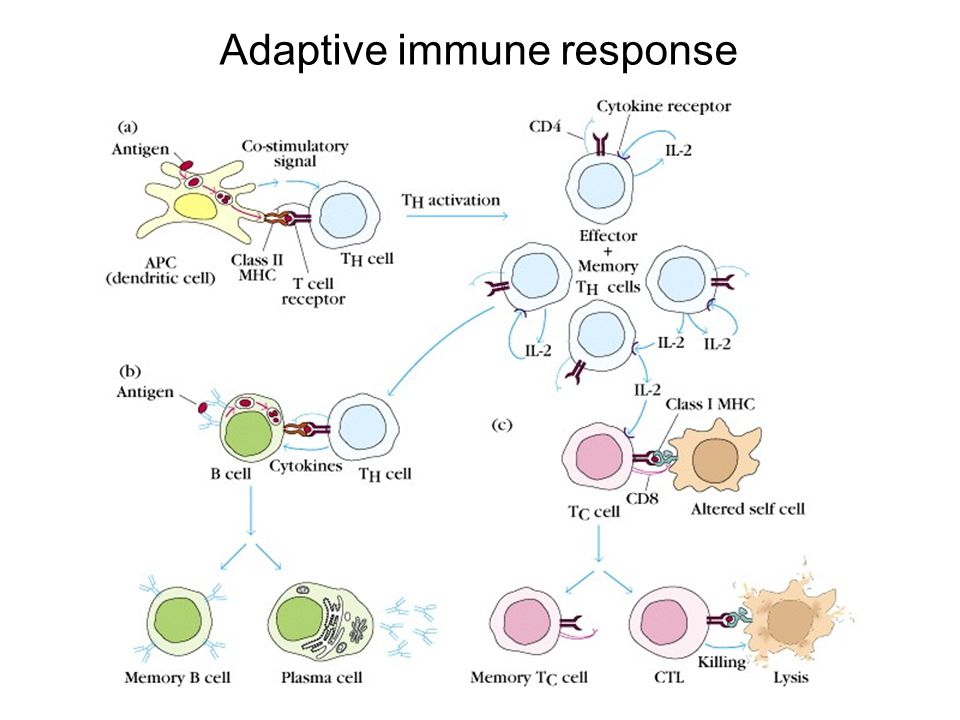 HIV induces strong cellular and humoral immune responses CTL-cytotoxic T lymphocytes (CD8 killer T cells)