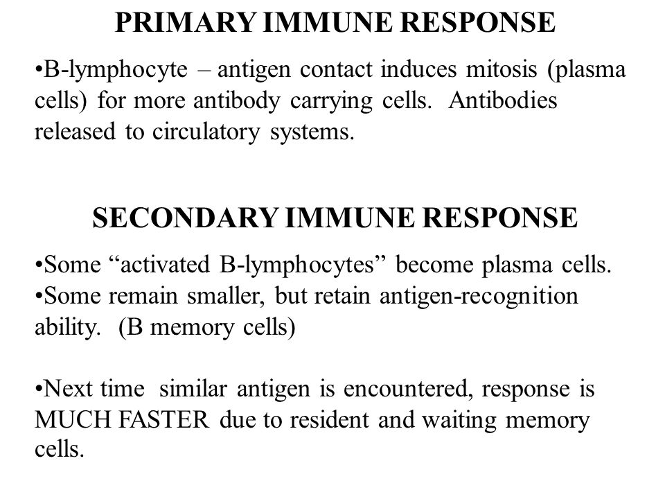 PRIMARY IMMUNE RESPONSE B-lymphocyte – antigen contact induces mitosis (plasma cells) for more antibody carrying cells. Antibodies released to circula