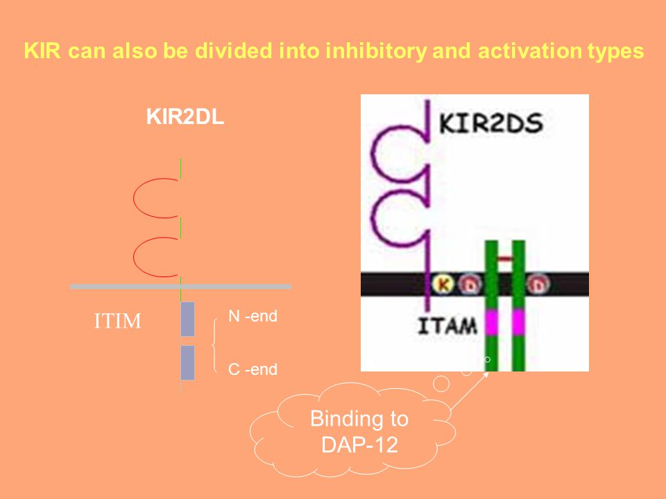 KIR2DL ITIM C -end N -end Binding to DAP-12 KIR can also be divided into inhibitory and activation types