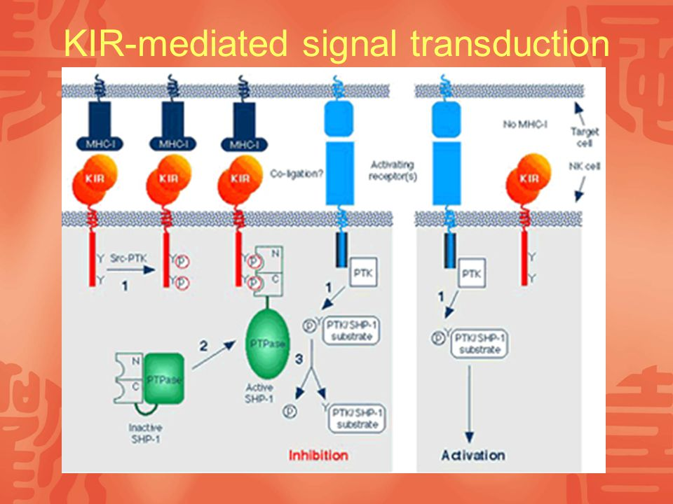 KIR-mediated signal transduction
