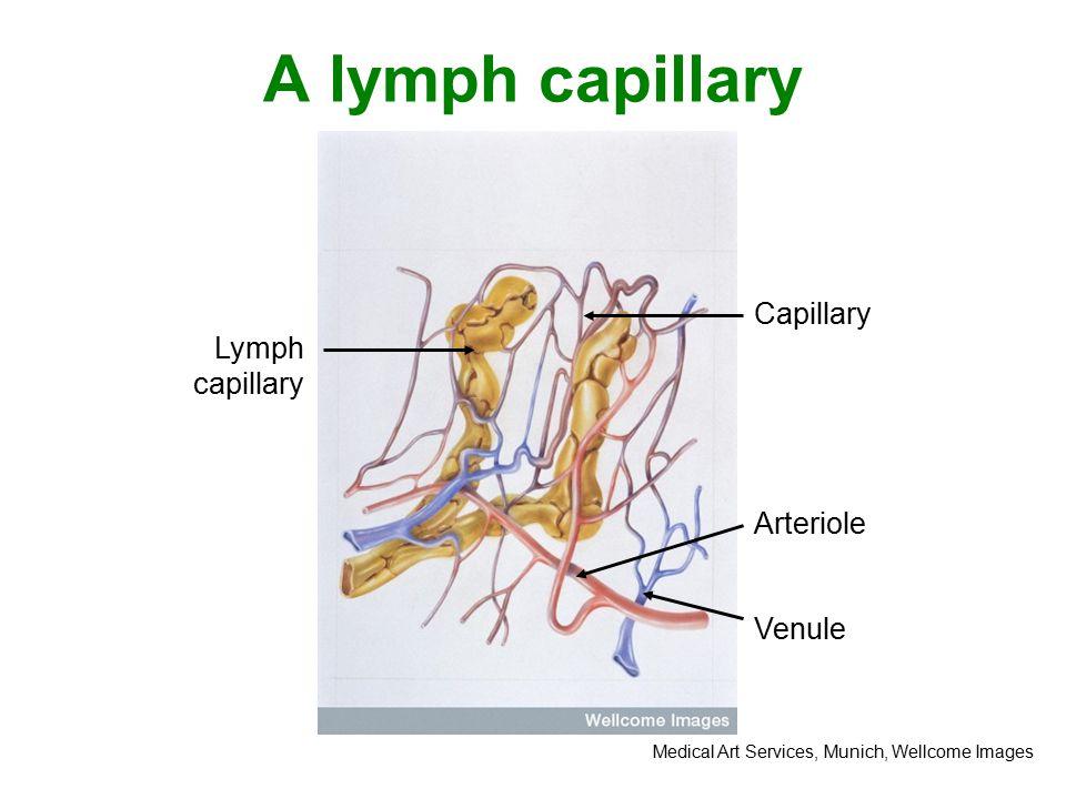 Section through a lymph node Afferent lymph vessels Efferent lymph vessels Medulla (macrophages) Germinal centre (B lymphocytes) Cortex (T lymphocytes) The Miles Kelly Art library, Wellcome Images