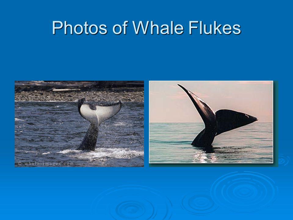 Photos of Whale Flukes
