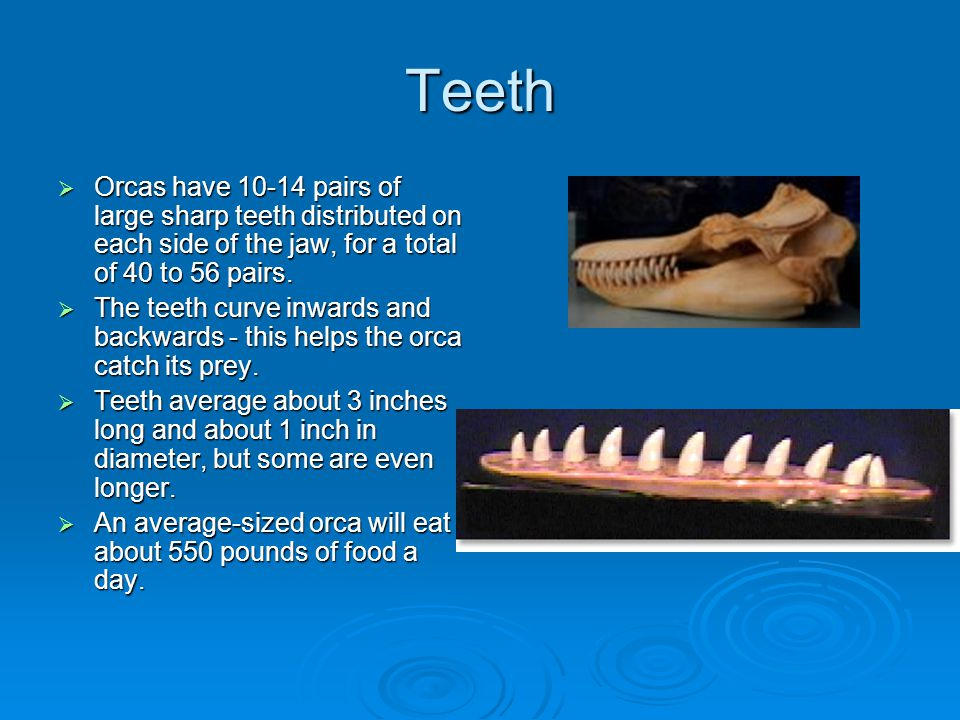 Teeth  Orcas have 10-14 pairs of large sharp teeth distributed on each side of the jaw, for a total of 40 to 56 pairs.  The teeth curve inwards and